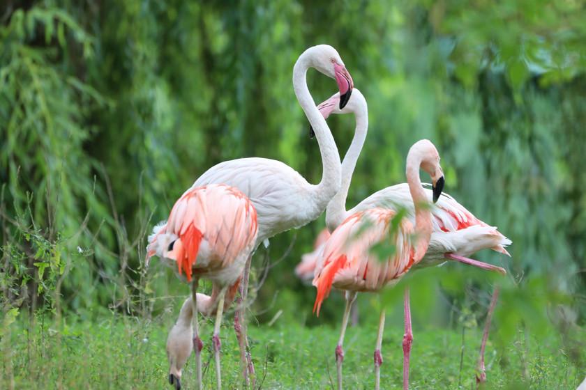 Chile-Flamingos