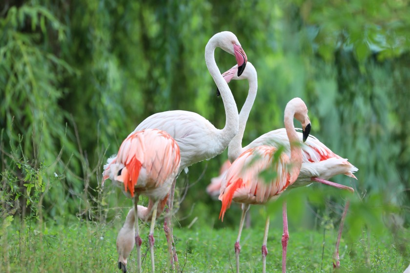 Chile-Flamingos