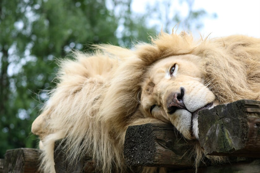 Weiße Löwen