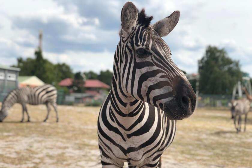 Steppen-Zebras