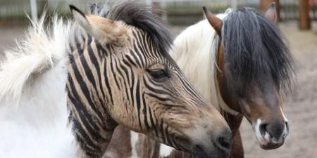 Zebra-Pferd